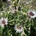 die Farben des Sommers sind passé - Silberdisteln repräsentieren nun den Herbst