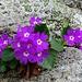 Blumenschmuck (Primeln) an der Polenmauer.