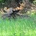 Ein Elch liegend im hohen Gras.