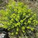 Euphorbia (Wolfsmilchgewächs)