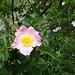 Weisse und rosa Wildrosen gab's viele. Hmm, duftet fein.