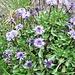 Globularia cordifolia L.<br />Plantaginaceae >(incl. Globulariaceae)<br /><br />Vedovelle celesti.<br />Globulsaire à feuilles en coeur.<br />Herzblättrige Kugelblume