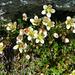 Blumen auf 3100 m.ü.M.