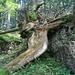 urtümlich anmutende Waldformationen
