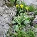 Aurikel und Flockenblume am Ostausgang