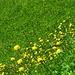 Trollblumen zuhauf