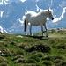 la cavalla bianca di Visogno