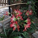 Amaryllis wächst hier im Boden:-) / Qui cresce in terra:-)