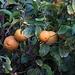 Die Zitronen im Abendlicht sehen dann auf dem Foto orange aus / I limoni nella luce di sera sulla foto hanno il colore arancione