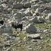bergfreudige  Eringer-Rinder im Ofental