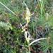 Fliegen-Ragwurz (Ophrys insectifera)