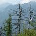 Unterhalb Launc - der Lärchenwald erholt sich langsam von der Feuerskatastrophe von 1991