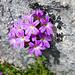Zahlreiche Alpenblumen auch beim Abstieg auf dem Mythenweg