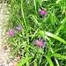 Centaurea montana L.<br />Asteraceae<br /><br />Fiordaliso montano.<br />Centurée des montagnes.<br />Berg-Flockenblume.