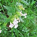 Melittis melissophyllum L.<br />Lamiaceae<br /><br />Erba limona comune.<br />Mélitte a feuilles de mélisse.<br />Immenblatt.
