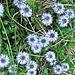 Globularia cordifolia L.<br />Plantaginaceae > (incl. Globulariaceae)<br /><br />Vedovelle celesti.<br />Globulaire à feuilles en coeur.<br />Herzblättrige Kugelblume.