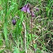 Aquilegia atrata W.D.J.Koch<br />Ranunculaceae<br /><br />Aquilegia scura.<br />Ancoile noiratre.<br />Dunkle Akelei.