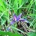 Iris graminea L.<br />Iridaceae<br /><br />Giaggiolo susinario.<br />Iris graminée.<br />Grasblättrige Schwertlilie.