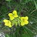 Biscutella laevigata L.<br />Brassicaceae<br /><br />Biscutella montanina.<br />Biscutelle.<br />Glattes Brillenschoechten.