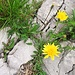 Hieracium pilosella L.<br />Asteraceae<br /><br />Sparviere pilosetto.<br />Epervière piloselle.Langhaariges Habichtskraut.