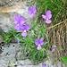 Viola calcarata L.<br />Violaceae<br /><br />Viola con sperone.<br />Pensée éperonnée.<br />Langsporniges Stiefmütterchen.