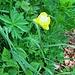 Trollius europaesus L.<br />Ranunculaceae<br /><br />Botton d'oro.<br />Trolle d'Europe.<br />Europäische rolblume.