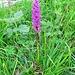 Orchis mascula subsp. signifera (Vest) Soò<br />Orchidaceae<br /><br />Orchidea superba.<br />Orchis superbe.<br />Zeichentragendes Männliches Knäbenkraut.<br />