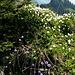Blumenpracht auf dem Grat zum Neuenalpspitz