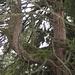 Der im Toggenburg beheimatete Drillingsbaum