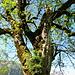 alter Baum, dient vieln anderen Pflanzen als Wirt