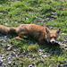 foxes around Zurich are not very shy any more