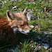 "the ""friendly"" fox again"