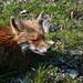 """the """"friendly"""" fox again"""