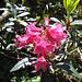 Primo incontro primaverile con rododendri...