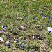 Die Hauptattraktion des heutigen Tages will ich dem geneigten Hikr-Leser nicht vorenthalten.... Blumenwiesen (am Amatschonjoch)..