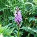 Alpe d'Arnau - Knabenkraut, eine Orchideenart