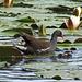 Diese Ente watschelt über die Seerosen...
