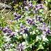 Lago del Pezz - noch zu bestimmende Blumen
