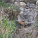 Alpenbraunelle (Prunella collaris)