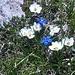"""War da nicht was mit """"der weiß-blauen Gipfelwelt"""" des TSV 1860 München?<br /> <br />Hier feiert eine Bergblumenfangruppe an höchster Stelle seit vorgestern (Dienstag) den Klassenerhalt! Die Schusternagerl sehen schon etwas verkatert aus.."""