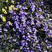 Im Aufstieg vom Campo Imperatore zum Rifugio Duca degli Abruzzi - Auf den Berghängen blühen derzeit unzählige Blumen.
