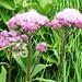 Zwischen Capanna Cognora und Passo di Piatto - Blühende noch zu bestimmende Pflanze
