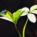 Eine Gemeine Becherjungfer (Enallagma cyathigerum) beim Schwarzen See