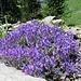 ... und zu diesem originell gefärbten Alpenblümchen