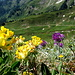Alpen Wundklee