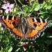 Kleiner Fuchs. Viele Schmetterlinge flogen und landeten auf den unzähligen Bergblumen.
