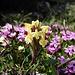 Herrliche Bergblumen auch am Frümsel