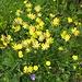 dann wieder gelb, aber es sind keine Trollblumen und auch kein Löwenzahn, sondern Alpen-Wundklee