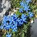 Frühlings-Enziane oberhalb der Himmelsleiter