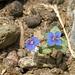bellichina azzurra